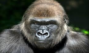Gorilla #